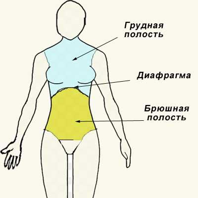 грудная и брюшная полости тела  человека